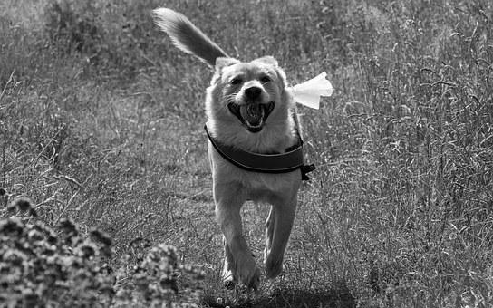 hlídač pes