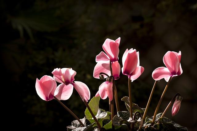 růžový brambořík