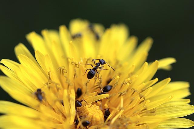 mravenci na pampelišce