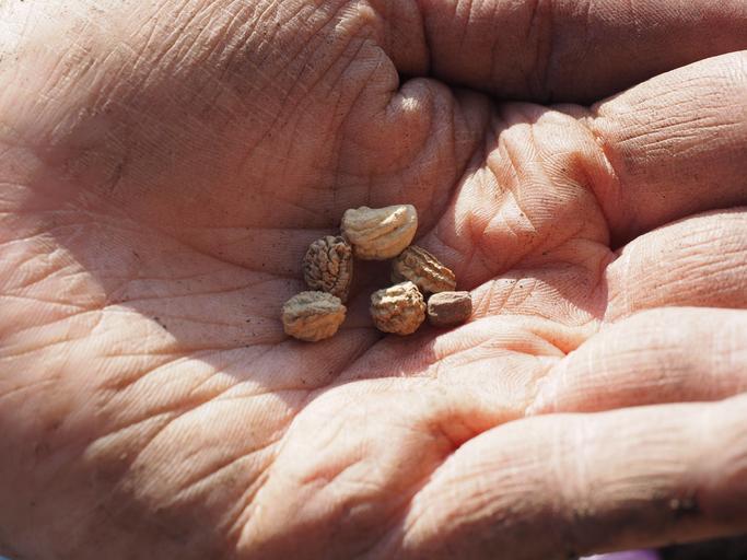 semena na dlani